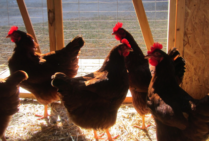image of chickens in coop