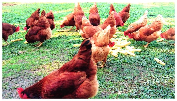 chickens-love-corn