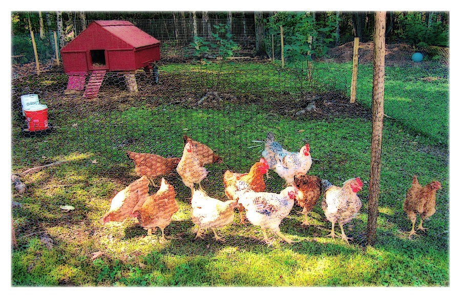 first-broilers