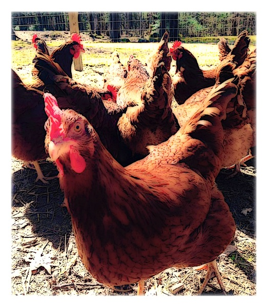 cute-chickens