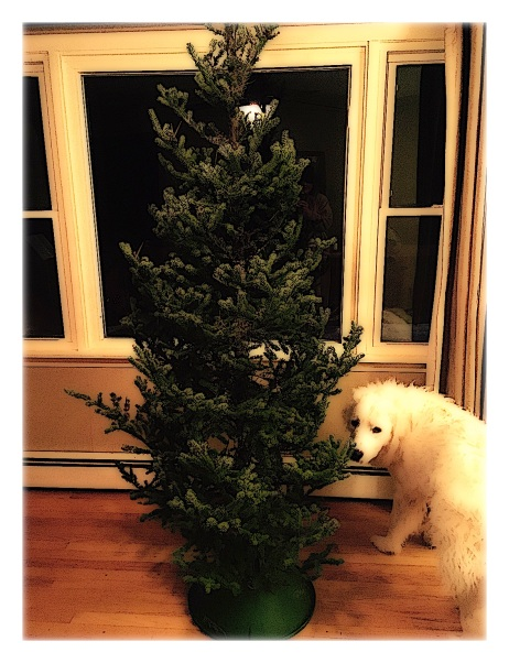 Gus and Christmas Tree